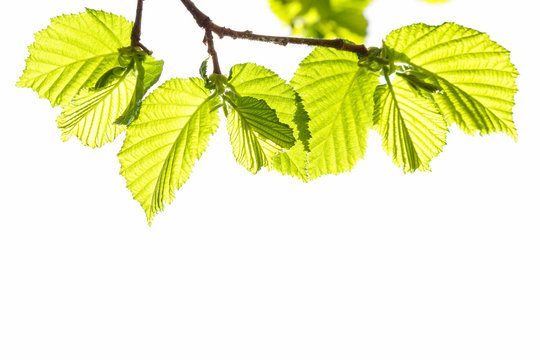 branch with spring young leaves of hazelnut tree on a Sunny day, isolated on white