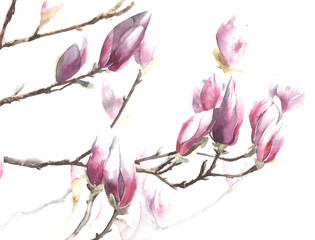 Magnolia flowers tree blooming blossom branch watercolor painting illustration isolated on white background