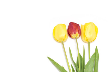 Beautiful and fresh tulips isolated on white background