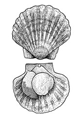 Scallop illustration, drawing, engraving, ink, line art, vector