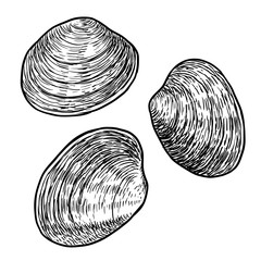 Edible clam illustration, drawing, engraving, ink, line art, vector