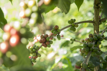 THAILAND CHIANG RAI MAE SALONG COFFEE PLANTATION