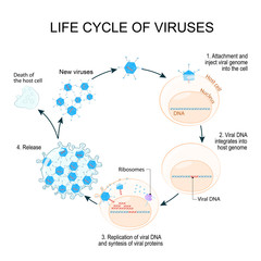 Virus Replication Cycle