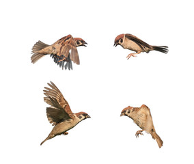 birds sparrows in flight isolated on a white background in various poses