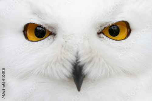 Fototapete Evil eyes of the snow - Snowy owl (Bubo scandiacus) close-up portrait