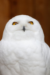 Fototapete - Funny Snowy owl (Bubo scandiacus) portrait