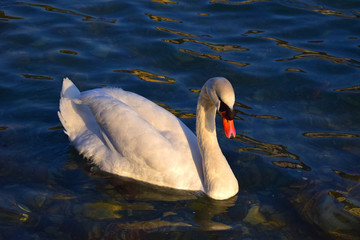White swan near the riverbank. Lone swan swimming in clean, transparent water.
