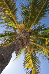 Coconuts on a palm-tree