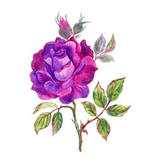 Purple rose watercolor painting.