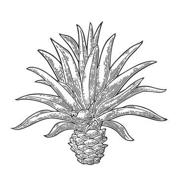 Cactus blue agave. Vintage vector engraving illustration for label, poster