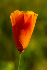 A large vertical presentation of an orange California poppy with a dark green background.