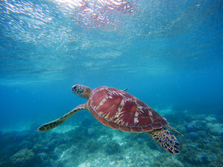 Sea turtle swims up to take breath on sea water surface. Snorkeling in shallow water of tropical lagoon.
