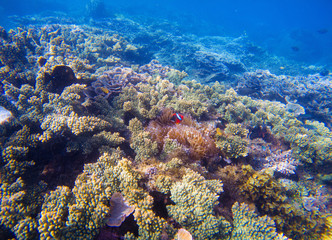 Underwater landscape with tropical fish. Clownfish and Surgeonfish between corals and sea plants.