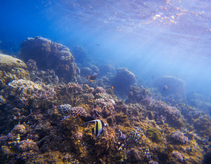 Underwater landscape with tropical fish. Butterfly fish Moorish Idol between corals and sea plants