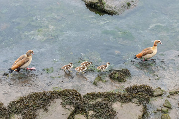 Image of wild duck with chicks on the river