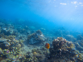 Yellow butterfly fish in coral reef. Tropical seashore underwater photo.