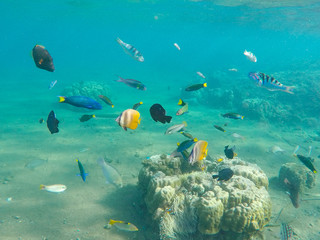 Underwater landscape with tropical fish. Young coral formation and coral fish shoal.