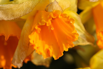 Acrylic Prints Narcissus Yellow daffodil