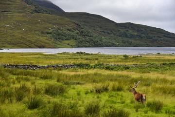 Schottland - Hirsch am Loch Assynt