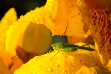 Green grasshopper and yellow flower. Small grasshopper sit on yellow lily in sunny garden.
