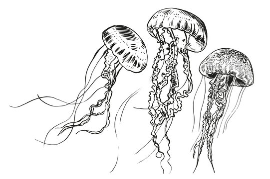 Hand drawn jellyfish. Vector illustration. Sea collection.