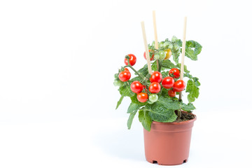 Single home cultivated organic cherry tomatoes tree with mini red fresh tomatoes hanging on it, planted in a brown pot with white background