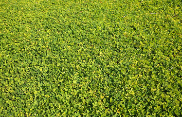 Lawn full of ornamental perennial peanut used to replace grass, a drought resistant, low maintenance ground cover, a relative of the edible peanut.