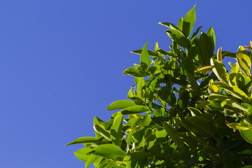 Tropical tree branch with leaves on blue sky background. Natural photo wallpaper.