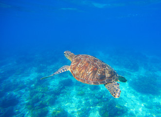 Green turtle swim in blue sea water. Snorkeling with tortoise.