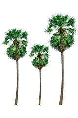 sugar palm tree or toddy palm isolated on white