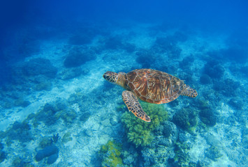 Sea turtle in water. Exotic island oceanic environment in sea lagoon.