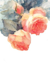 Watercolor Roses Floral Background Texture Hand Painted Illustration isolated on white