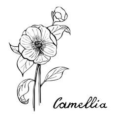 Camellia Flower Botany Illustration