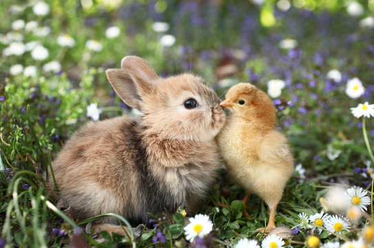 Best friends bunny rabbit and chick are kissing
