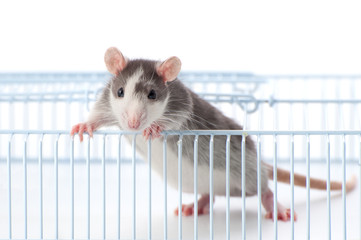 A young rat stands holding on to the cage.