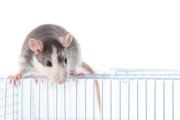 Cute rat sitting on a trellis cage on a white background..