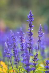 Purple lavender field.
