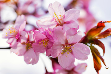 Apple tree pink flowers blossom in spring