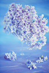 Beautiful hydrangea flowers in a glass vase on a blue background .