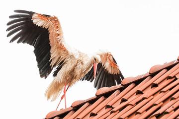 Ein Storch geht über einen Dachfirst
