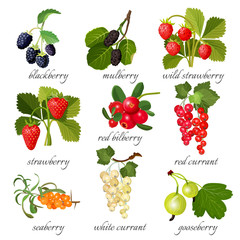 Black blackberry and mulberry, wild strawberry, red bilberry, currant, seaberry