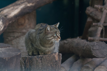 Forest cat sitting on a stump close up
