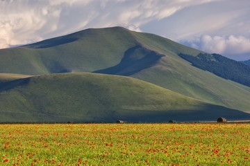 Cultivated fields and flowering at sunset in Pian Grande of Castelluccio di Norcia, Italy