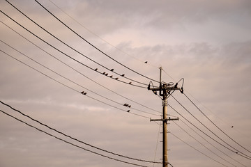 Little wild birds staying on electric wires - White cheeked starling.