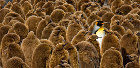 Alone in a Crowd, King Penguin chicks and adult, South Georgia