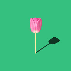 spring flower, minimal concept, tulip on green background