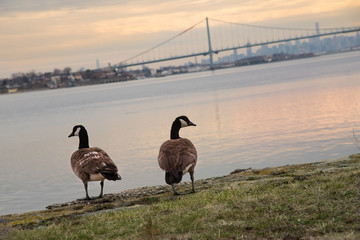 Canadian goose with Bronx-Whitestone Bridge and Manhattan in the background – New York City