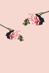 Two pink roses on pink background, studio shot