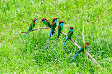 Group of Blue throated bee eaters