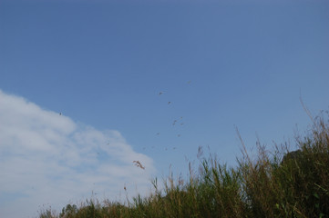 A flock of white bird flying across blue sky above high grass
